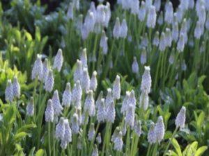 Blauwe druif bloembollen - 100 of 250 stuks