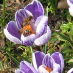 Krokus bloembollen - 100 of 250 stuks