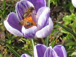 Krokus bloembollen – 100 of 250 stuks